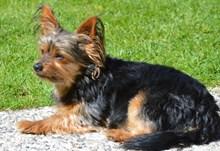 约克夏犬可爱高清图片
