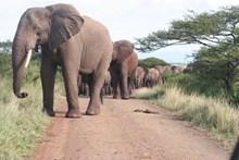 非洲象群图片
