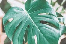龟背竹微距高清图片