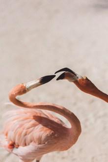 火烈鸟高清摄影高清图