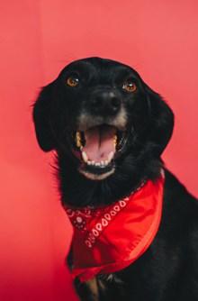 拉布拉多黑色成犬精美图片