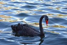 黑天鹅浮水高清高清图片