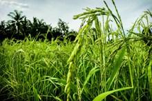稻田绿色谷物图片素材