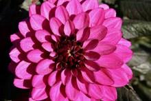 粉红色娇琴纱开花图片大全