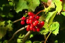 秋季野生红浆果精美图片