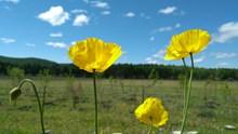 蓝天下黄色罂粟花高清图