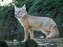 野生银狐狸图片素材