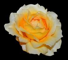 黄白色玫瑰花朵图片