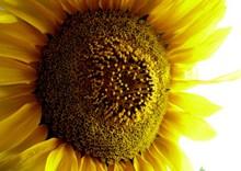 黄色向日葵种子图片下载