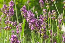 紫色薰衣草电脑壁纸高清图片