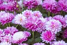 大朵粉色雏菊图片大全