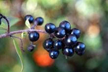 黑色野生浆果高清图片