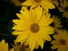 盛开黄菊花高清图