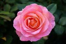 粉红色玫瑰花朵图片素材