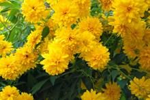 黄色菊花绽放高清图