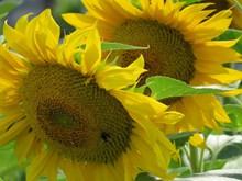 黄色向日葵近景精美图片