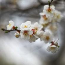 春天发芽梅花摄影图片大全
