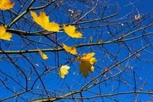 蓝天下秋天枝叶高清图