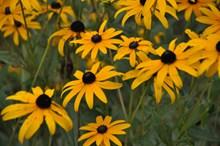 黄菊花盛开高清图