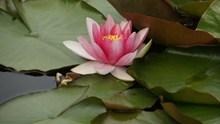 池塘睡莲花朵图片下载