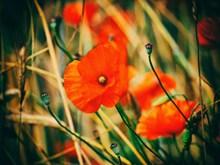唯美红罂粟摄影图片素材