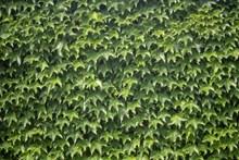 墙面绿色常春藤高清图