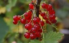 红色剔透野浆果高清图