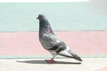 家养灰鸽子图片下载