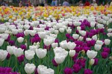 观赏郁金香花朵图片