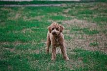 宠物泰迪狗图片素材