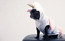 穿衣服的黑巴哥犬图片下载