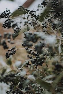 结黑色浆果的植物高清图