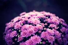 紫色浪漫菊花花束图片