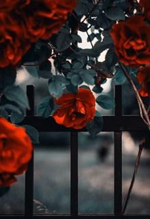 篱笆网红玫瑰高清图