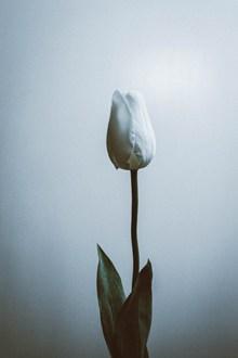 一朵白色郁金香高清图片