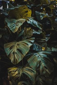 龟背竹叶子图片下载