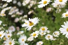 白色野菊花壁纸高清图