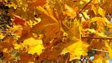 秋天黄色叶子精美图片