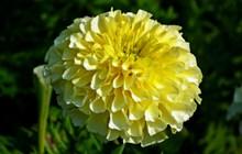黄色万寿菊花朵高清图片