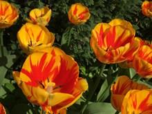 漂亮郁金香鲜花高清图