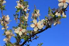 桃花树白色桃花图片下载
