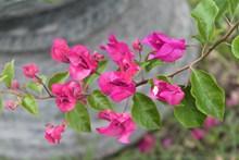 粉色三角梅开花图片下载
