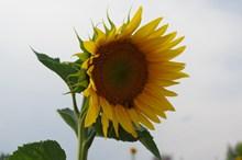 黄色向日葵花近景高清图