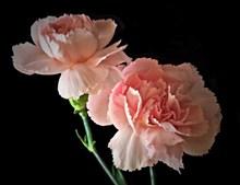 粉色康乃馨花朵图片