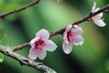 浪漫粉色桃花图片