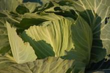 营养绿色卷心菜图片素材