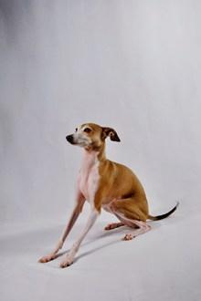 意大利小猎犬高清图片