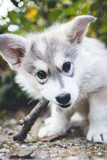 可爱哈士奇幼犬图片素材