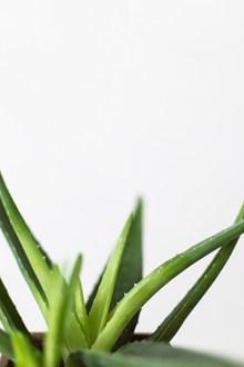 新鲜芦荟高清图片