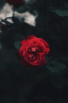 一朵红色玫瑰花高清图片